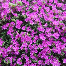 Rhododendron   obtusum 'Amoena'