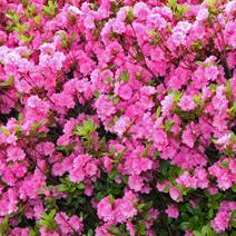 Rhododendron   obtusum 'Babuschka'