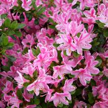 Rhododendron   obtusum 'Kermesina Rose'