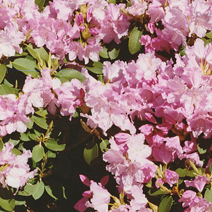 Rhododendron   obtusum 'Kirin' ('Pink Beauty')