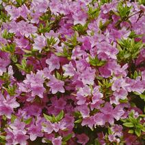 Rhododendron   obtusum 'Ledikanense'