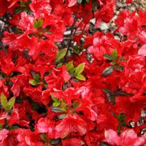 Rhododendron   obtusum 'Lola'