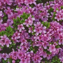 Rhododendron   obtusum 'Sazava'