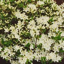 Rhododendron   obtusum 'Schneewittchen'
