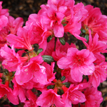 Rhododendron   obtusum 'Tootsie'