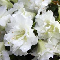 Rhododendron   obtusum 'Eisprinzessin'