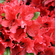 Rhododendron   obtusum 'Geisha Orange'