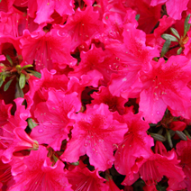 Rhododendron   obtusum 'George Arends'