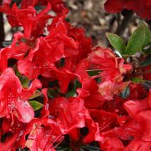 Rhododendron   obtusum 'Muneira'