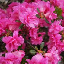 Rhododendron   obtusum 'Petticoat'