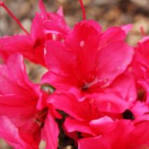 Rhododendron   obtusum 'Rubinstern'