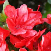 Rhododendron   obtusum 'Stretta'