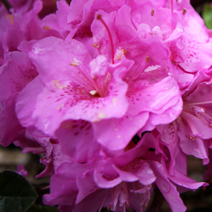 Rhododendron   obtusum 'Thekla'
