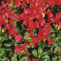 Rhododendron forrestii 'Scarlet Wonder'