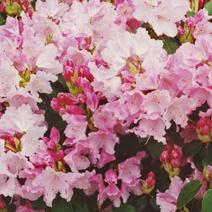Rhododendron williamsianum 'Gartendirektor Glocker'