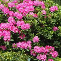 Zdj. nr 9;Rhododendron yakushimanum 'Lumina'