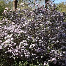 Rhododendron 'Amethystinum'