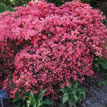 Rhododendron  kaempferi