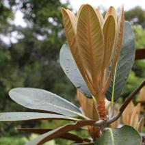 Rhododendron rex subsp. arizelum