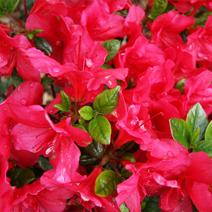 Rhododendron   obtusum 'Maraschino'