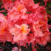 Rhododendron  (Knaphill-Exbury) 'Sarina'