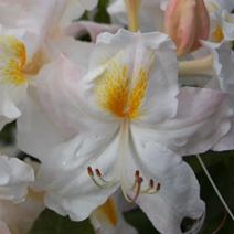 Rhododendron  (Knaphill-Exbury) 'Schneegold'
