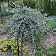Salix repens var. nitida (S. r. var. argentea)