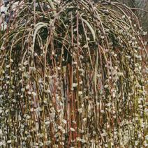 Salix caprea 'Kilmarnock' (Salix caprea 'Pendula')