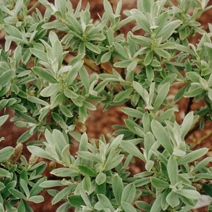 Salix helvetica 'Ober Donar'