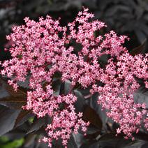 Sambucus nigra 'Black Beauty' ® PBR