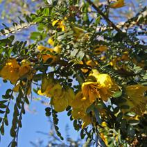 Sophora microphylla 'Hilsop'