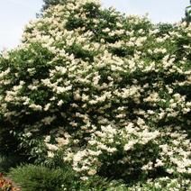 Syringa japonica