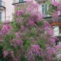 Tamarix ramosissima 'Pink Cascade' (T. pentandra 'Pink Cascade')
