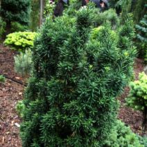 Taxus baccata 'Green Column'