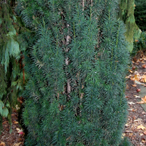 Taxus cuspidata 'Robusta'
