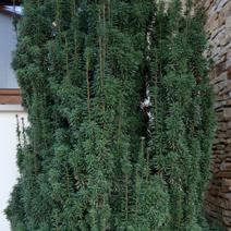 Taxus x media 'Hatfieldi'