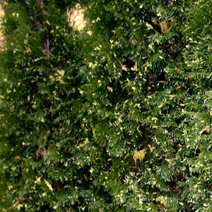 Thuja occidentalis 'Smaragd Variegated'