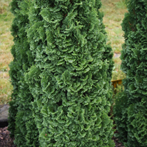 Thuja occidentalis 'Brobeck's Tower'