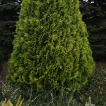 Thuja occidentalis 'Europe Gold'