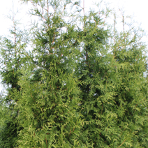 Thuja occidentalis 'Frieslandia'