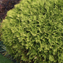 Thuja occidentalis 'Selena'