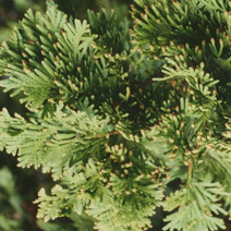 Thuja occidentalis 'Spiralis'