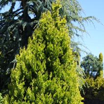 Platycladus orientalis 'Elegantissima' (Thuja or. 'Elegantissima')