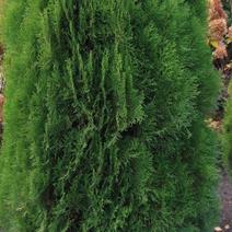 Platycladus orientalis 'Justynka' (Thuja or. 'Justynka')