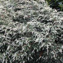 Tsuga canadensis 'Gentsch White' (Ts. can. 'Variegata Gentsch')