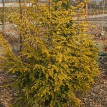 Tsuga canadensis 'Wintergold'