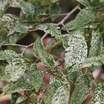 Ulmus carpinifolia 'Variegata'