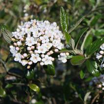 Viburnum x burkwoodii 'Conoy'
