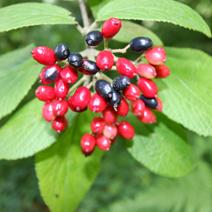 Viburnum burejaeticum
