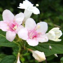 Weigela florida f. alba